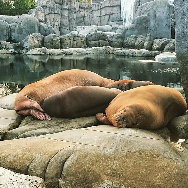 #sleep #sleepinggiants #walrus #hagenbeckstierpark